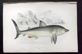 Couch 1877 Antique Fish Print. Basking Shark 14